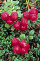Cowberry the ripening fruits taste sour