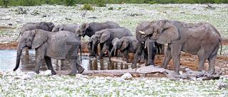 Elefanten, Etosha, Namibia; african elephants, Loxodonta africana