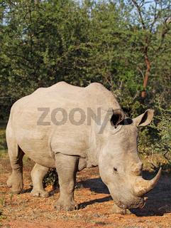 Breitmaulnashorn im Marakele-Nationalpark, Südafrika, Breitlippennashorn, white rhinoceros, Ceratotherium simum