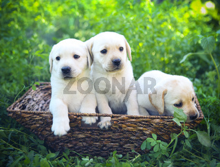Group of adorable golden retriever puppies in the yard