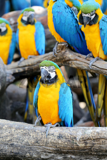Big beautiful macaws