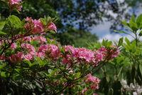 Azalee - azalea in pink