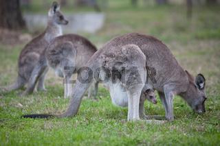 Kangaroo and her joey