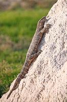 monitor at a terminte hill in Etosha National Park, Namibia, Varanus niloticus