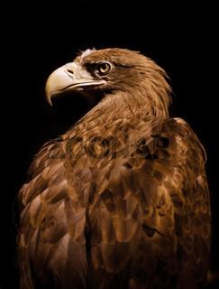 Aquila chrysaetos Golden eagle head portrait