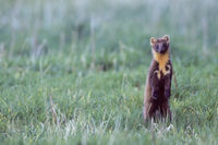 European Pine Marten feeds small mammals, birds and many other animals