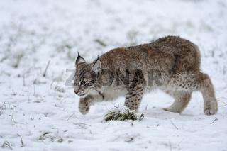 im Schleichgang... Eurasischer Luchs *Lynx lynx*