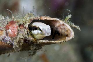 Mimikry-Saebelzahnschleimfisch, Indonesien