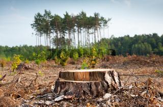 Woods logging and stump of deforestation hack