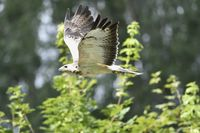 Common buzzard in fly.(Buteo buteo)