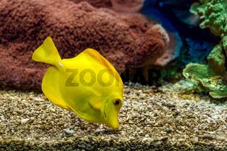 Yellow tang in aquarium.