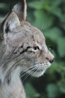 Nordluchs (Felis lynx)