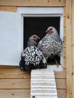 Wyandotten vor Hühnerhaus - Wyandotts in front of chicken house