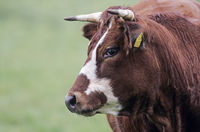 Domestic Cattle are one of the first livestock animals to have a fully mapped genome