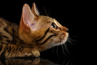 Closeup Crouching Bengal Kitty in Profile View on Black