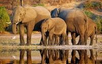 elephants at riverside of Chobe, Botsuana
