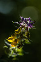 nettle blossom / southern burgenland