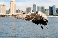 Pelican Ready To Land