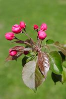 Blossoming apple tree with decorative bright pink buds