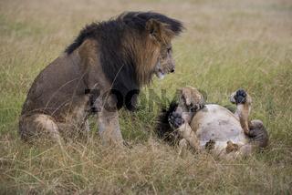 Loewe,Lion,Panthera leo,male,