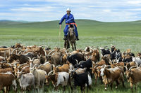 Mongolian nomadic herder on horseback corrals his herd of Kashmir goats, Mongolia