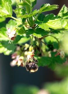 Biene an blüte, stachelbeere