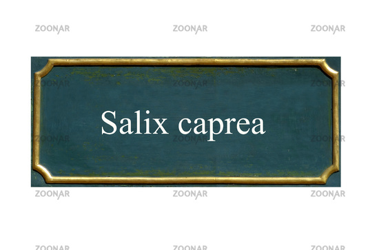 shield Salix caprea