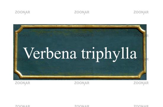 shield verbena triphylla