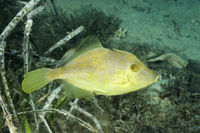 Stephanolepis diaspros, Reticulated leatherjacket