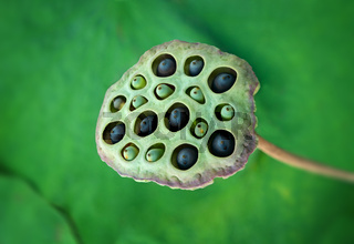 Close up of Lotus seeds in their pod