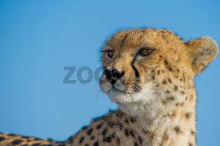 Cheetah,Gepard,Acinonyx jubatus,Portrait,head,