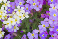 Background of white and purple flowers