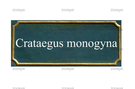 shield crataegus monogyna