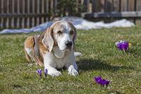 Beagle sonnt sich