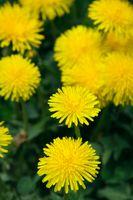 Blooming yellow dandelions