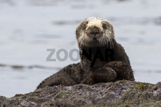 Sea otter sitting on a rock on the shore of the island