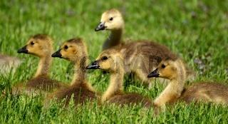 Canada Goose (Branta canadensis) Goslings