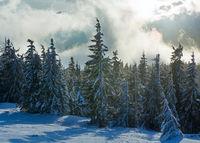 Morning winter fir forest.