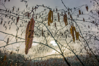 Early spring seeds heavy with yellow pollen dangling from branches on a tree