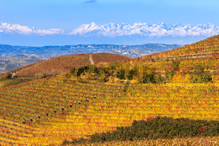 Colorful vineyards on the hill in Italy.