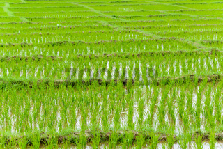 Young rice growing