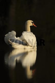 Schwanensee... Höckerschwan *Cygnus olor*