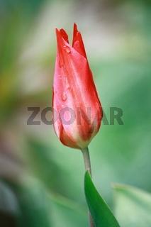 Tulpenknospe, rot, Spitze öffnet sich