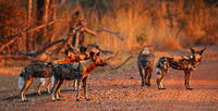 wild dogs with hyena, South Luangwa National Park