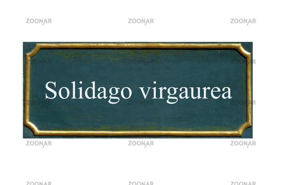 shield solidago virgaurea