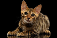 Lying Bengal Kitty and Looking in Camera on Black