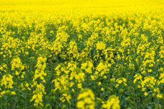 Natural springtime oilseed rape field closeup