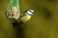 Blue tit with fat ball