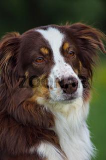 Australien Shepherd