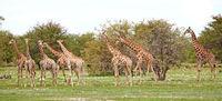 Group of giraffes, Etosha, Namibia